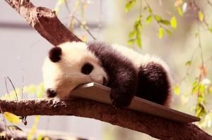 Pandaágy