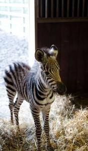 zebrabébi