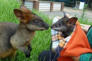 kenguru bébi