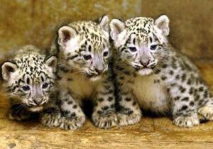 fehér leopárd