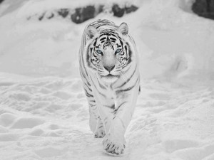Szibériai fehér tigris