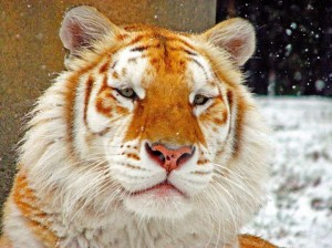 Arany tigris