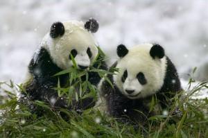 Gyönyörű panda kölykök