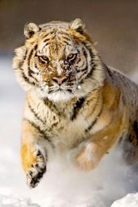 Havas tigris