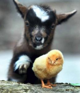 Kecske és a csibe