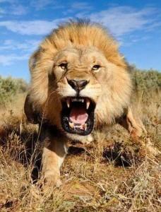 Mérges oroszlán
