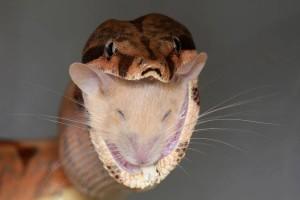 Kígyóvacsi