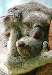 Koalamami kicsinyével