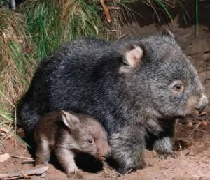 Vombat mama, és kicsinye
