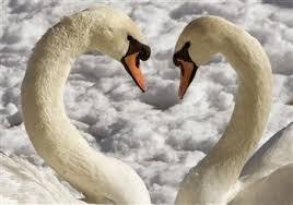 Hattyú szerelem