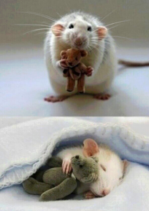 Patkány pihenés előtt