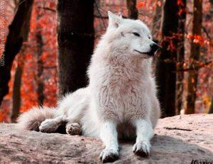 Fehér farkas...