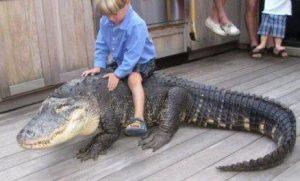 egy krokodil hátán