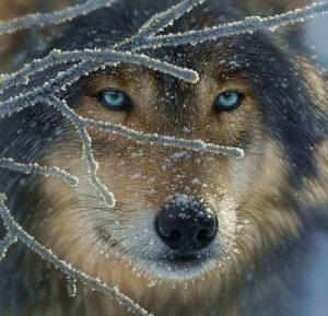 farkas szemek